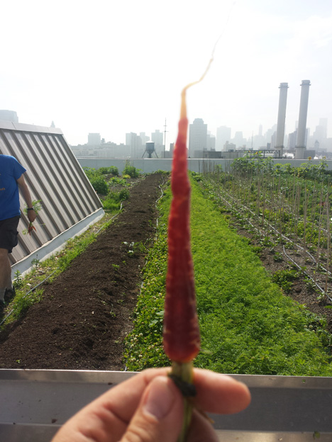 Spring-carrot-at-Navy-Yards-roof-farm-site-of-closing-dinner