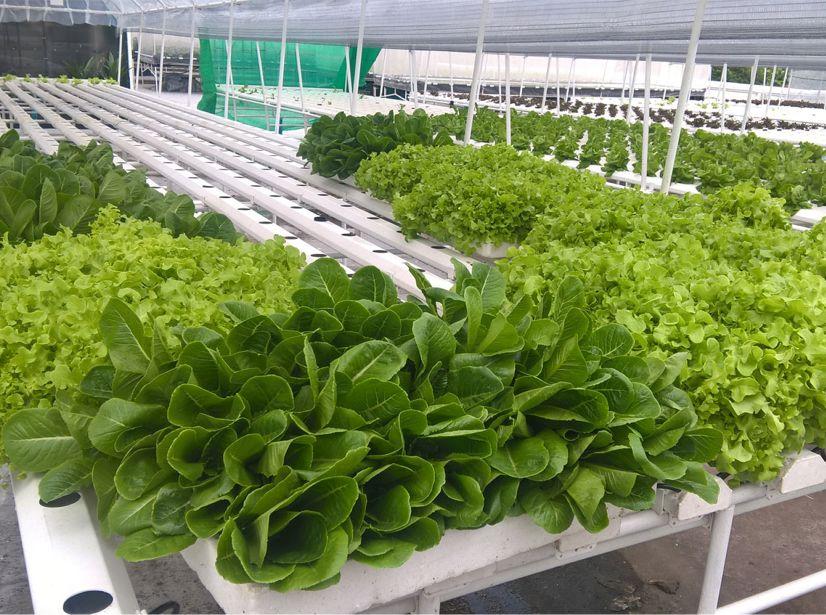 Anantara Riverside Bangkok Resort Rooftop Hydroponic Farm