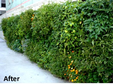 Urban Farming Food Chain – Skid Row Housing Trust's 'The Rainbow' Green Wall Featured Image